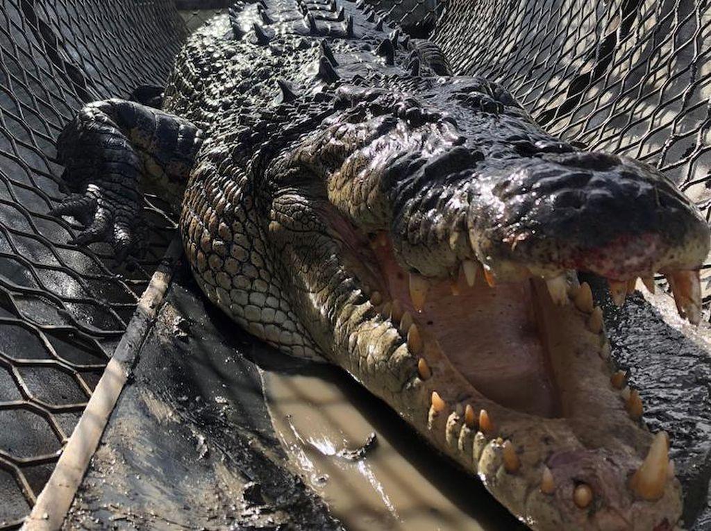Buaya Agresif yang Disebut Dinosaurus Hidup Dijauhkan dari Pesisir Pantai Australia
