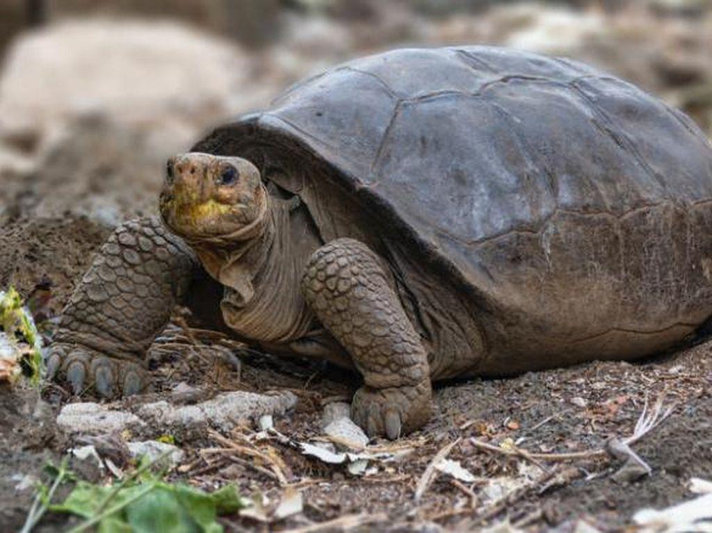 Kura-kura Raksasa Ini Dikira Punah 100 Tahun Lalu, Tapi Masih Hidup