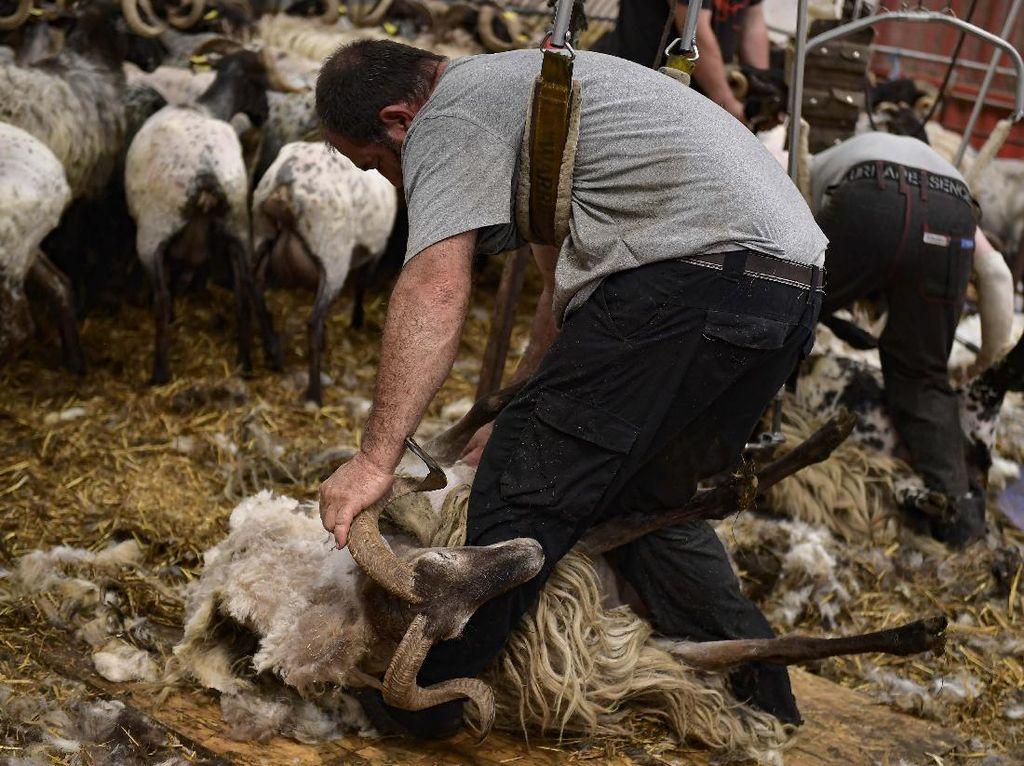 Begini Lho Cara Mencukur Bulu Domba Sebelum jadi Wol