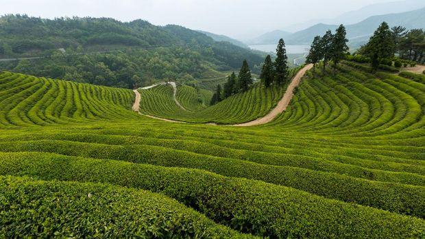 Kebun teh di Boseong, Jeollanam-do, Korea Selatan