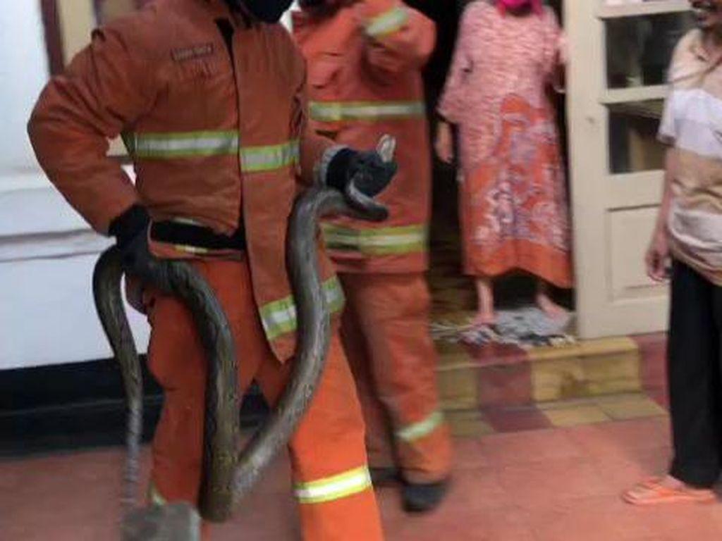 Ular Sanca 3 Meter Ditemukan di Plafon Warung Bakso di Surabaya
