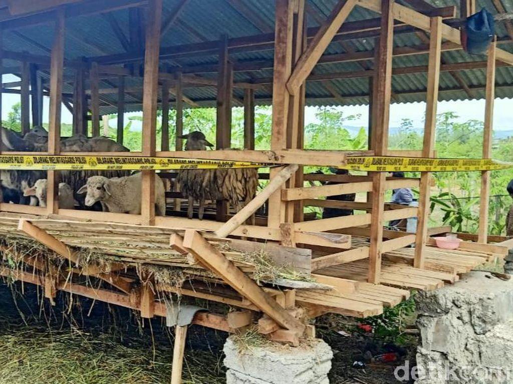 5 Kambing yang Mati Misterius di Banyuwangi Diduga Dimangsa Macan Bakau