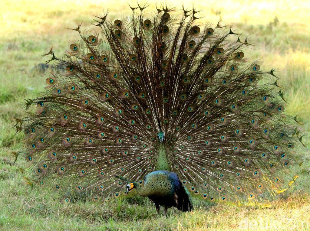Cantiknya Ekor Burung Merak Saat Mekar