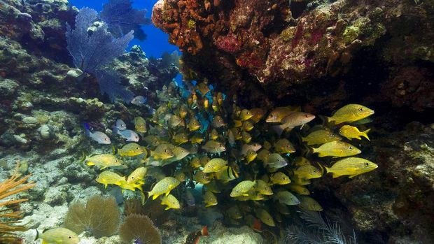 A school of snapper are sheltering under the underside of a shallow coral outcrop in the Florida keys.  Their brilliant shiny yellow make them stand out against the background.