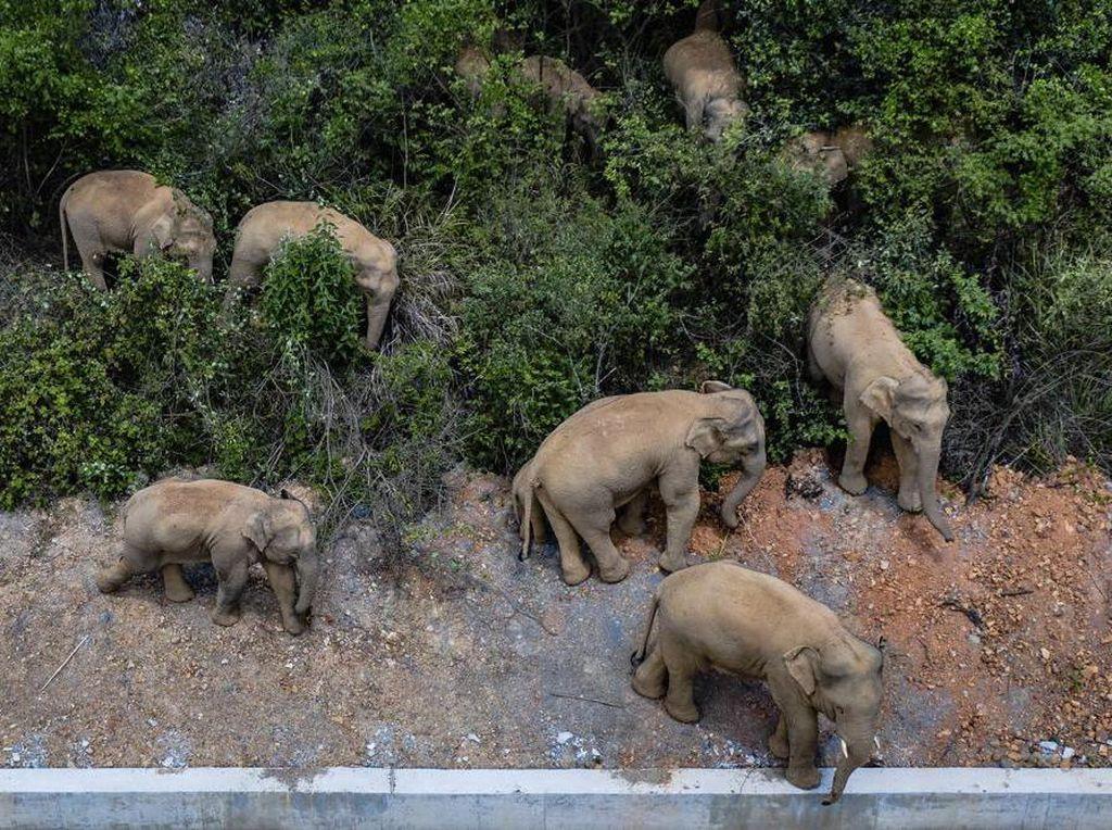 Kawanan Gajah Datangi Kota Besar di China, Tempuh Perjalanan 500 Km