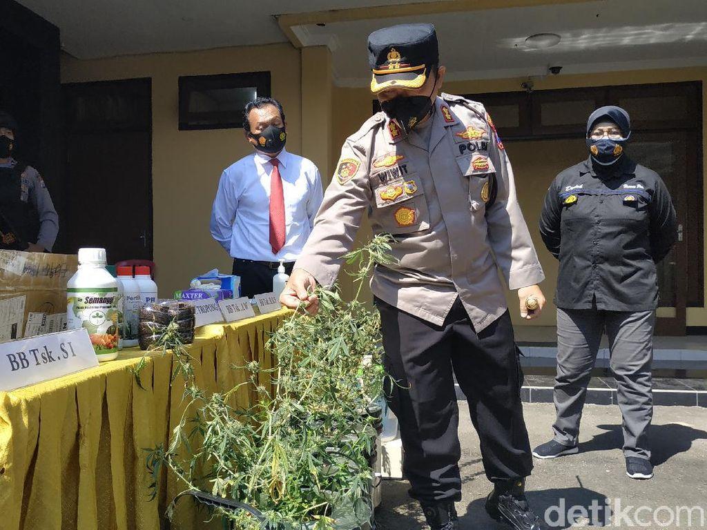 Pengedar Ganja Hidroponik Lintas Provinsi Diringkus Polisi Pacitan