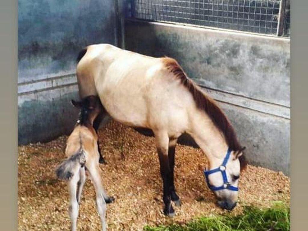 Ramai Kuda Aisyah di Postingan Gisel, Equestrian Ini Beri Penjelasan