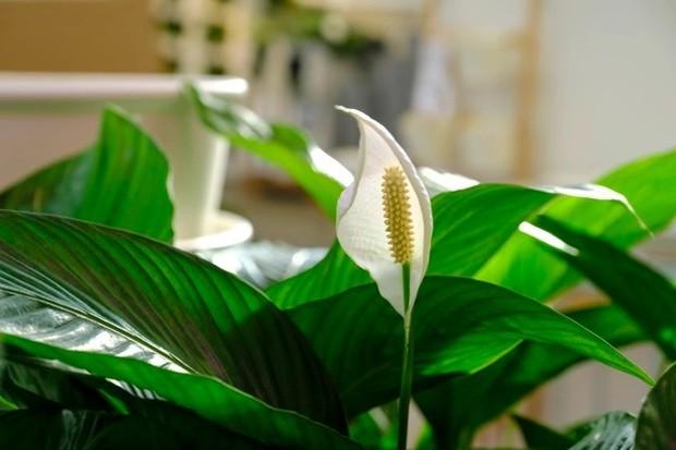 Peace Lily mampu membersihkan udara dari zat-zat seperti amonia, benzena, formaldehida dan juga trichloroethylene/freepik.com