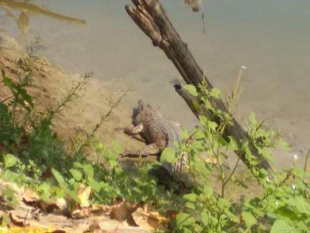 Ini Dugaan Munculnya Buaya di Sungai Bengawan Solo