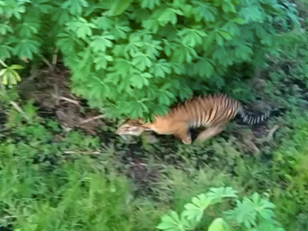 Terekam Kamera, Harimau Berkeliaran di Perkebunan Pasaman Barat
