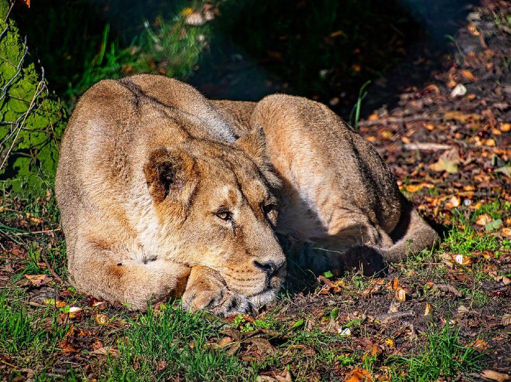 Duh, Corona di India Tewaskan Singa Langka