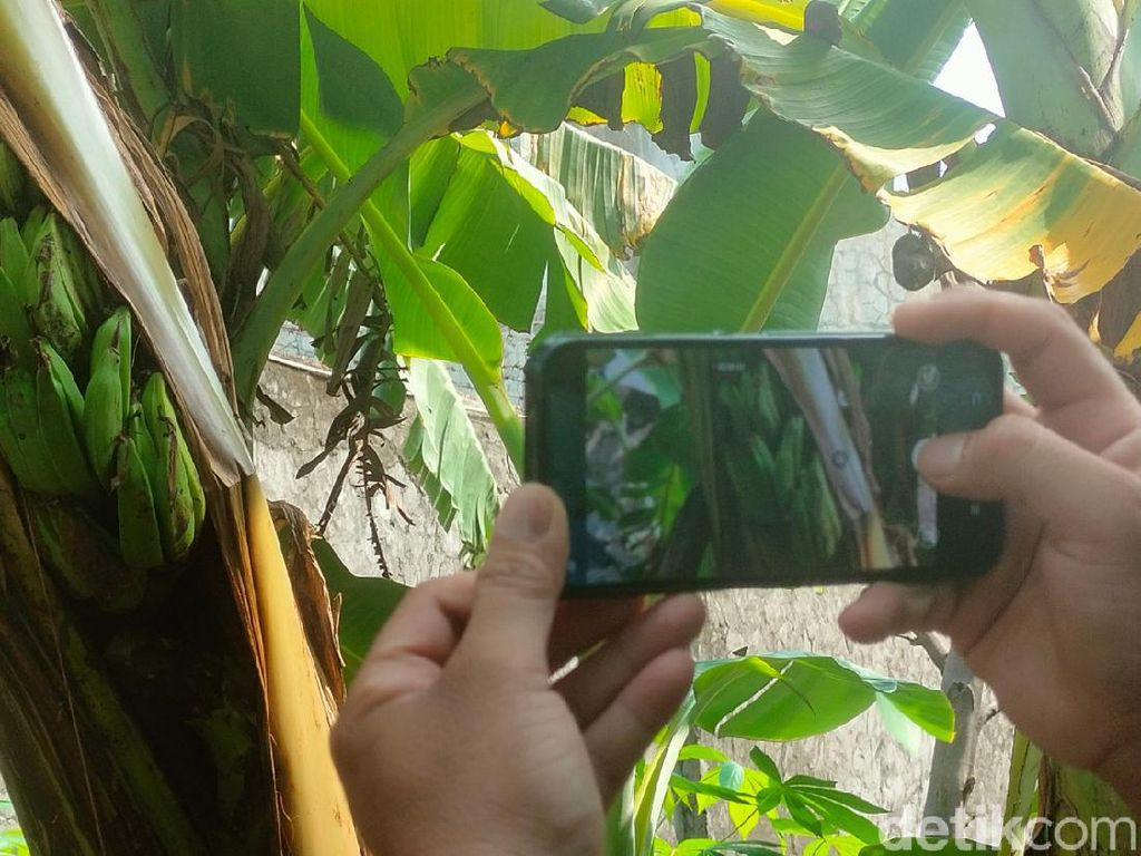 Unik! Pohon Pisang di Majalengka Berbuah dalam Batang