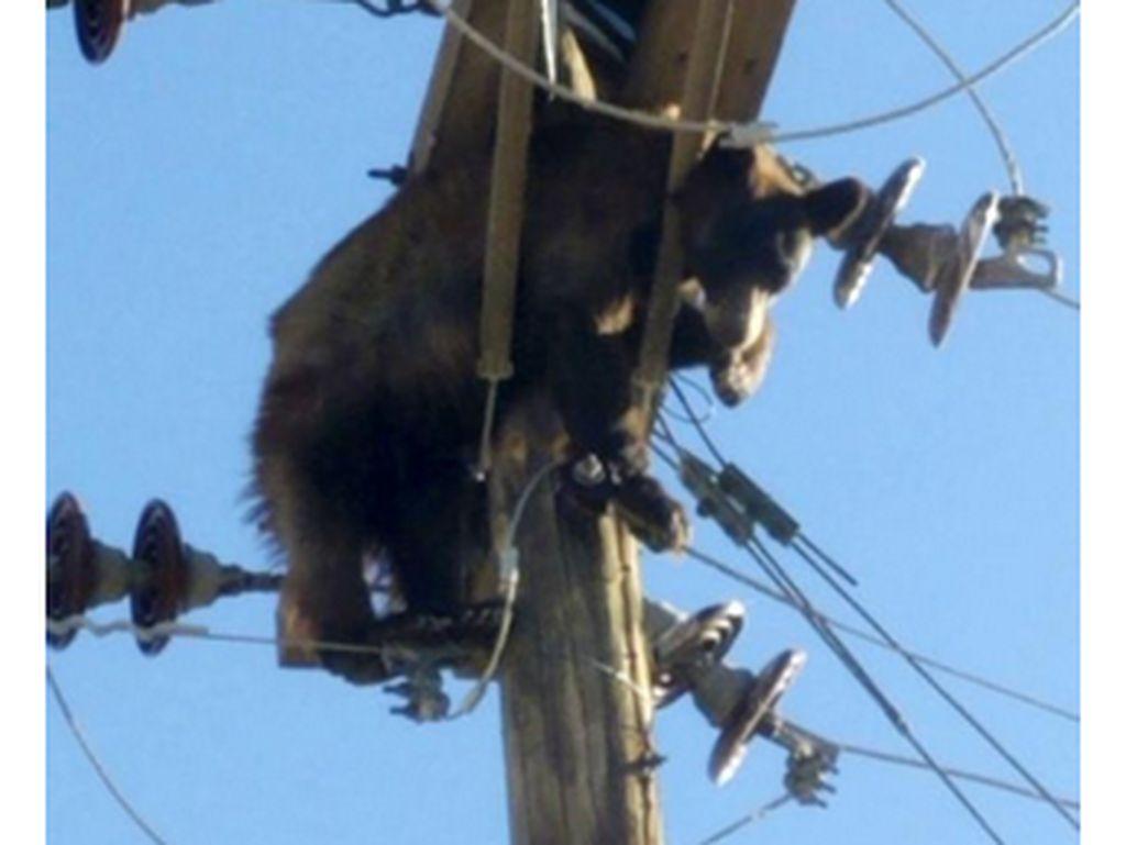 Sungguh Kasihan, Beruang Ini Nyangkut di Tiang Listrik