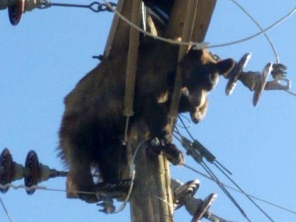 Duh! Beruang Nyangkut di Tiang Listrik Picu Pemadaman di AS