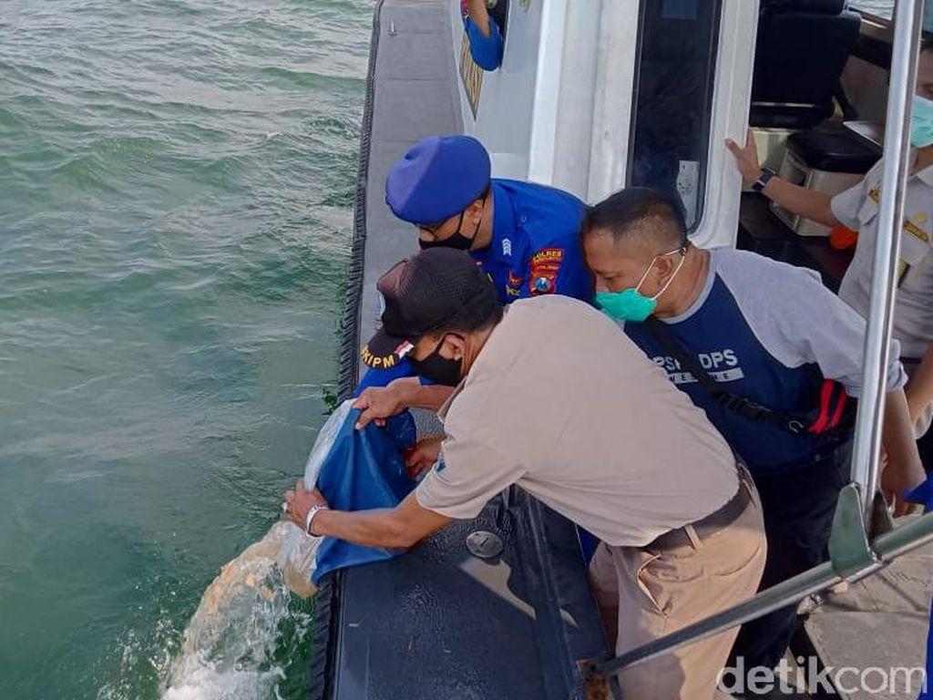 22 Ribu Baby Lobster Dilepasliarkan di Perairan Probolinggo