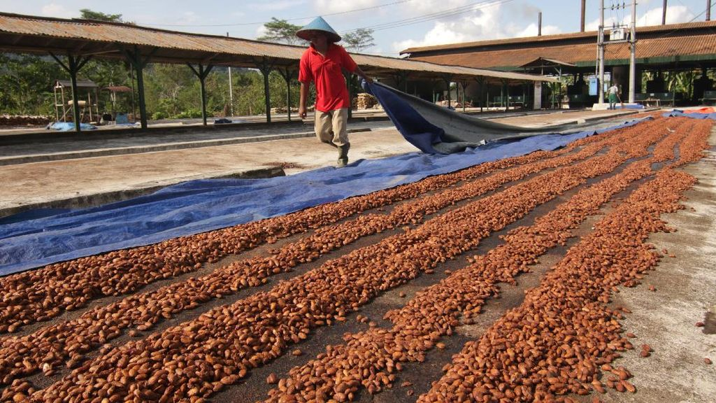 Potret Dusun Kakao di Perkebunan Kendeng Lembu