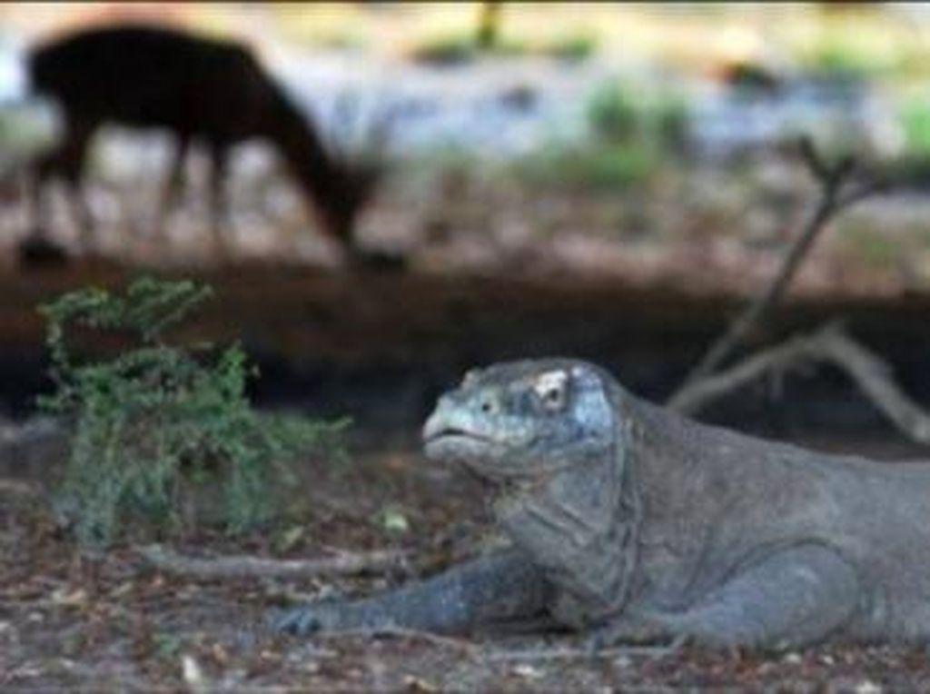 Kesejahteraan Komodo di Tangan Orangtua Asuh