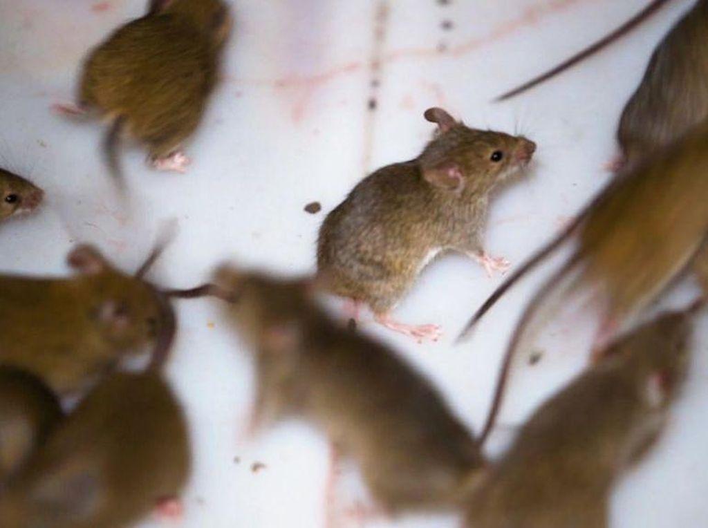 Mengapa ada Wabah Hama Tikus di Australia dan Apakah Bisa Dihentikan?