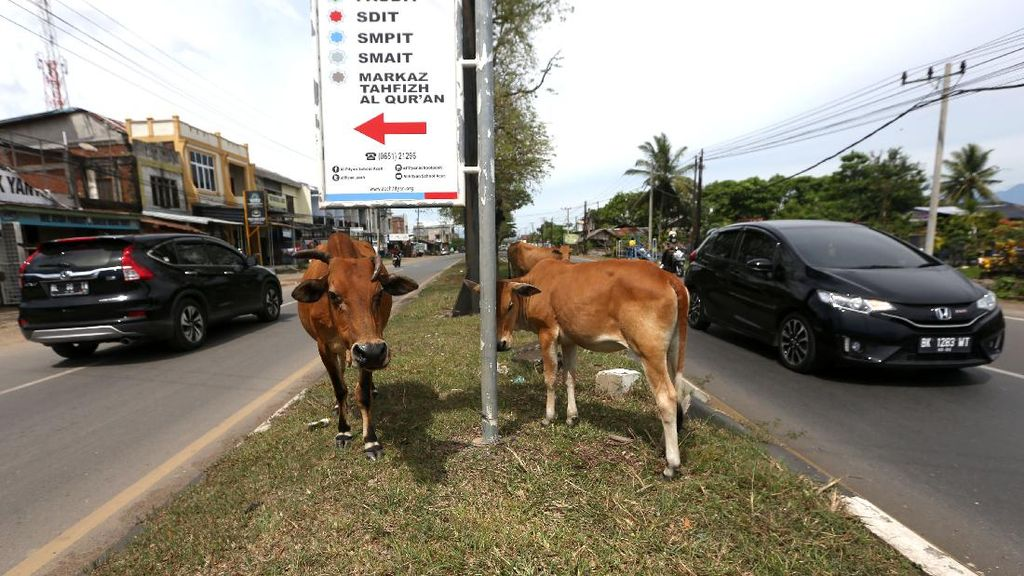 Waduh, Hewan Ternak Berkeliaran di Jalanan Aceh
