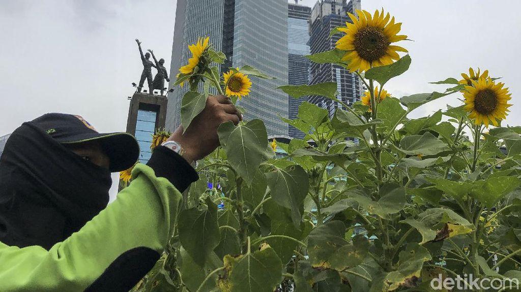Bunga Matahari Percantik Jakarta Jelang HUT DKI ke 494
