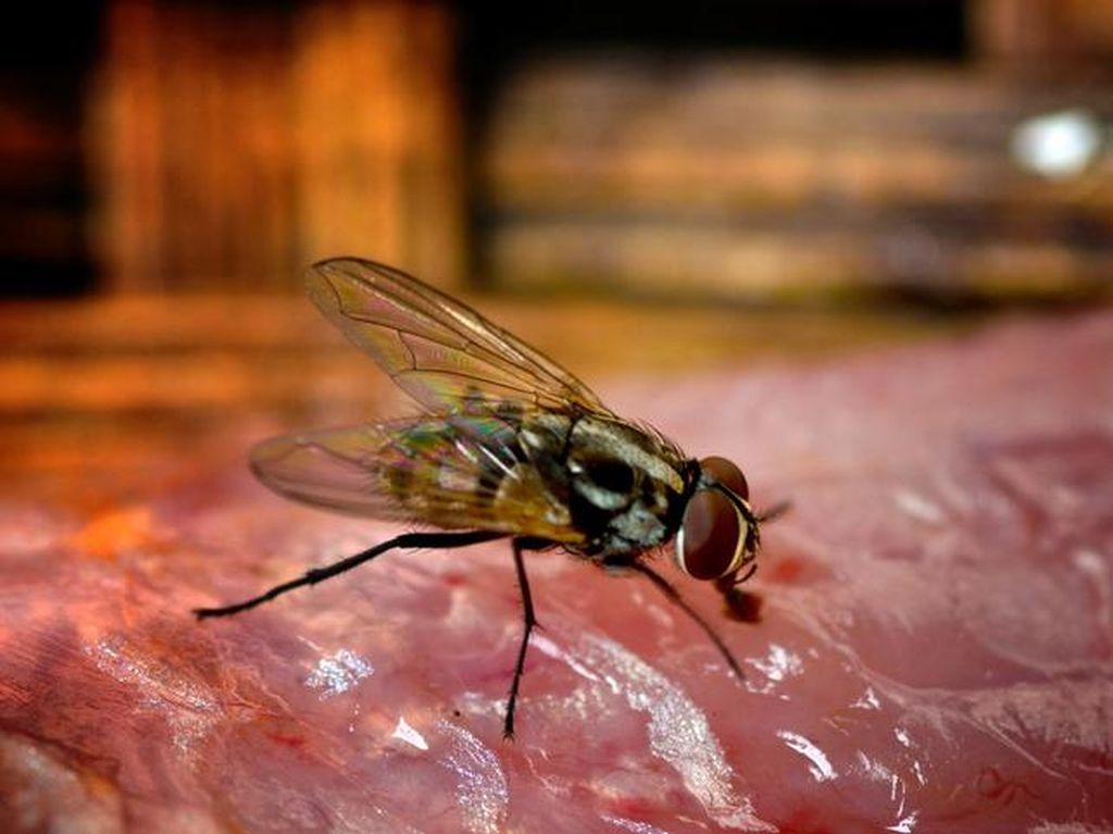 8 Cara Mengusir Lalat secara Alami, Pakai Serai dan Kulit Jeruk
