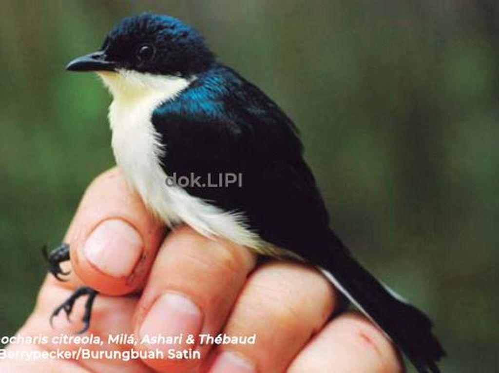 LIPI Temukan Burungbuah Jenis Baru di Pegunungan Kumawa Papua Barat