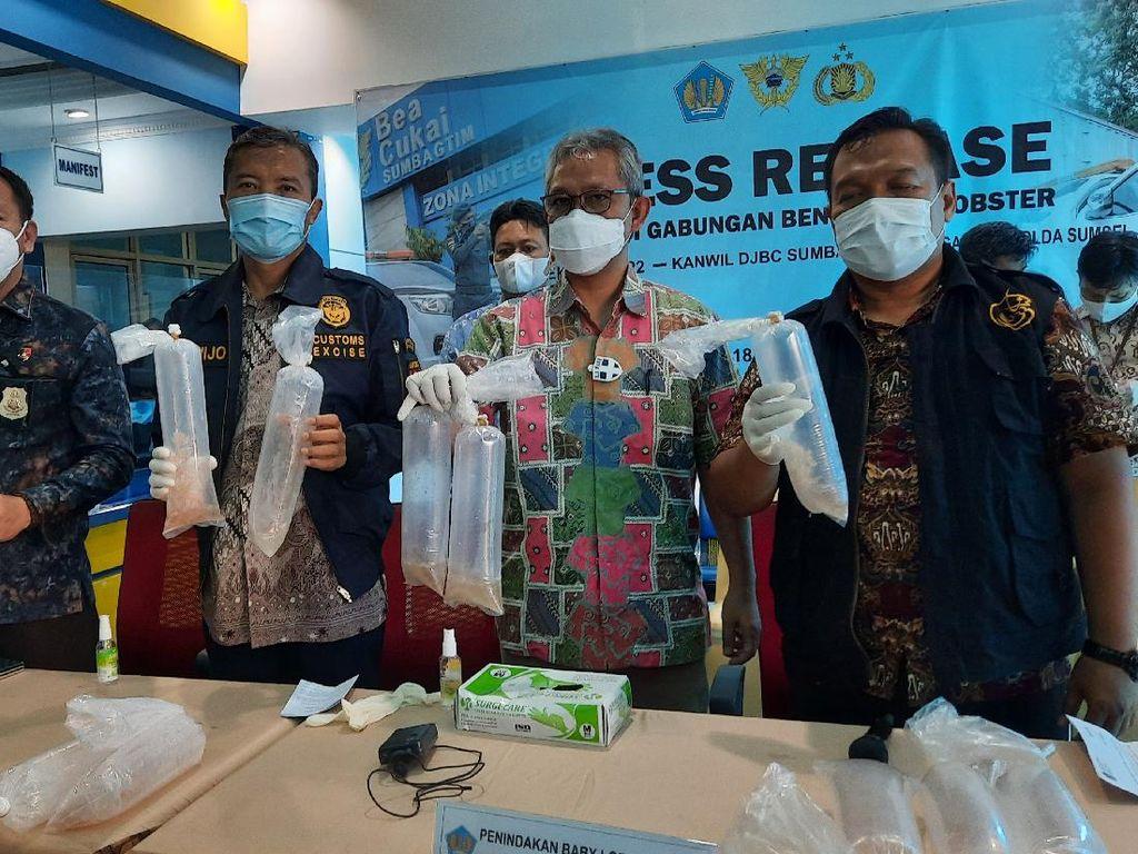 Petugas Sita 225 Ribu Benur yang Bakal Diselundupkan ke Malaysia