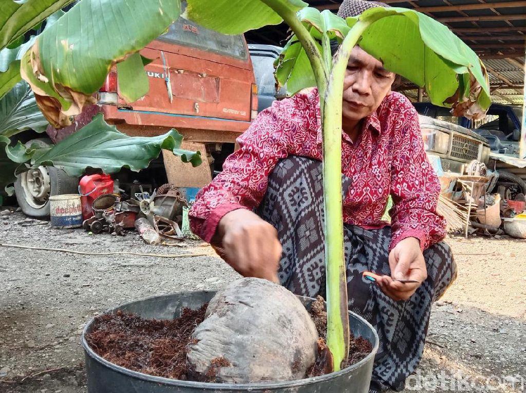 Tunas Pisang Tumbuh dari Buah Kelapa di Kebumen, Rekayasa Bukan?