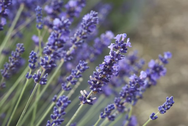 Lavender/unsplash.com