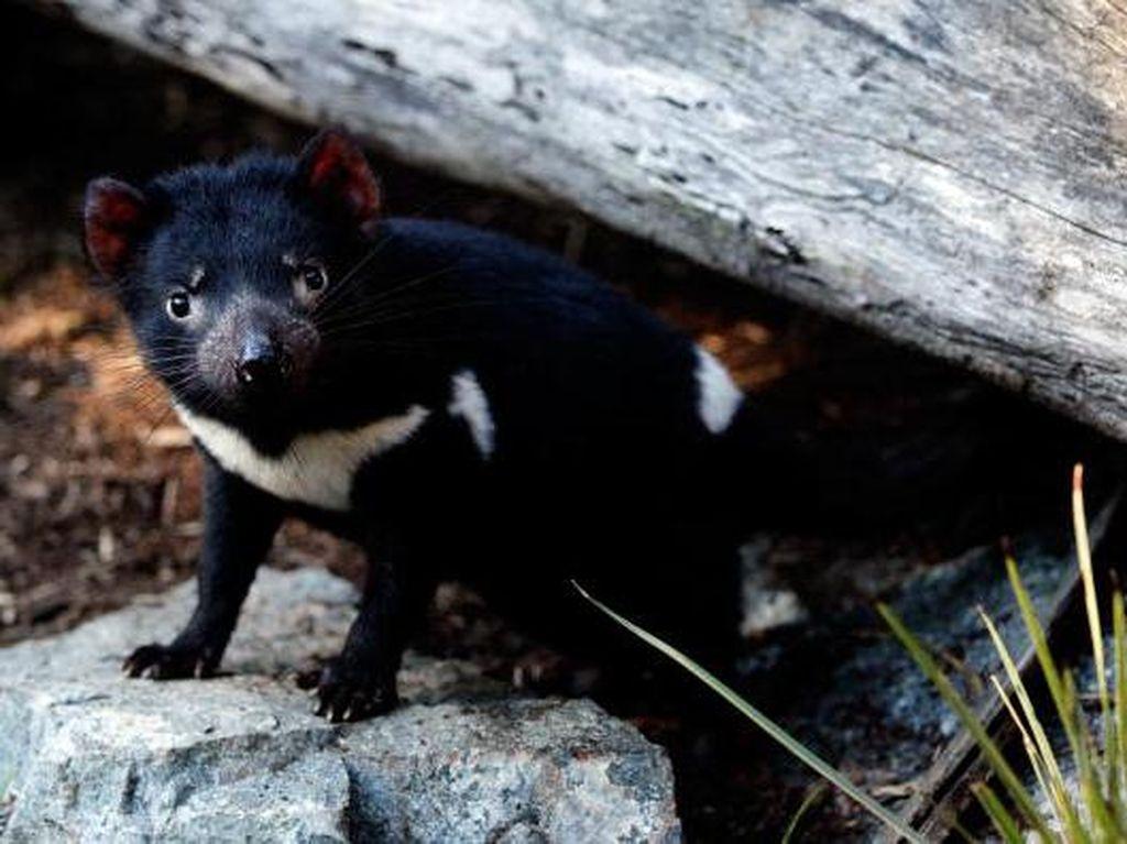Kedatangan Tasmania Devil Malah Hancurkan Populasi Penguin di Pulau Maria
