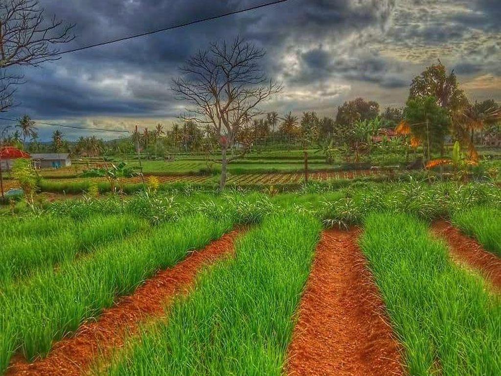 Bawang Merah & Cabai Rawit Jadi Andalan Hortikultura Sumenep