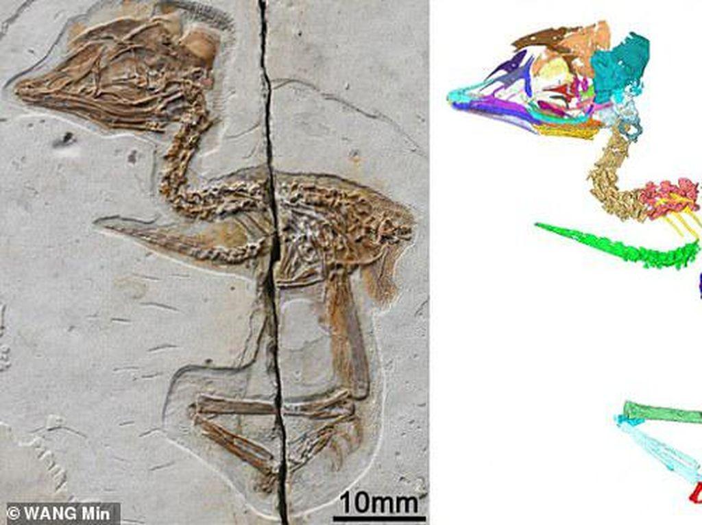 Ajaib, Hewan Ini Setengah Burung Setengah Dinosaurus
