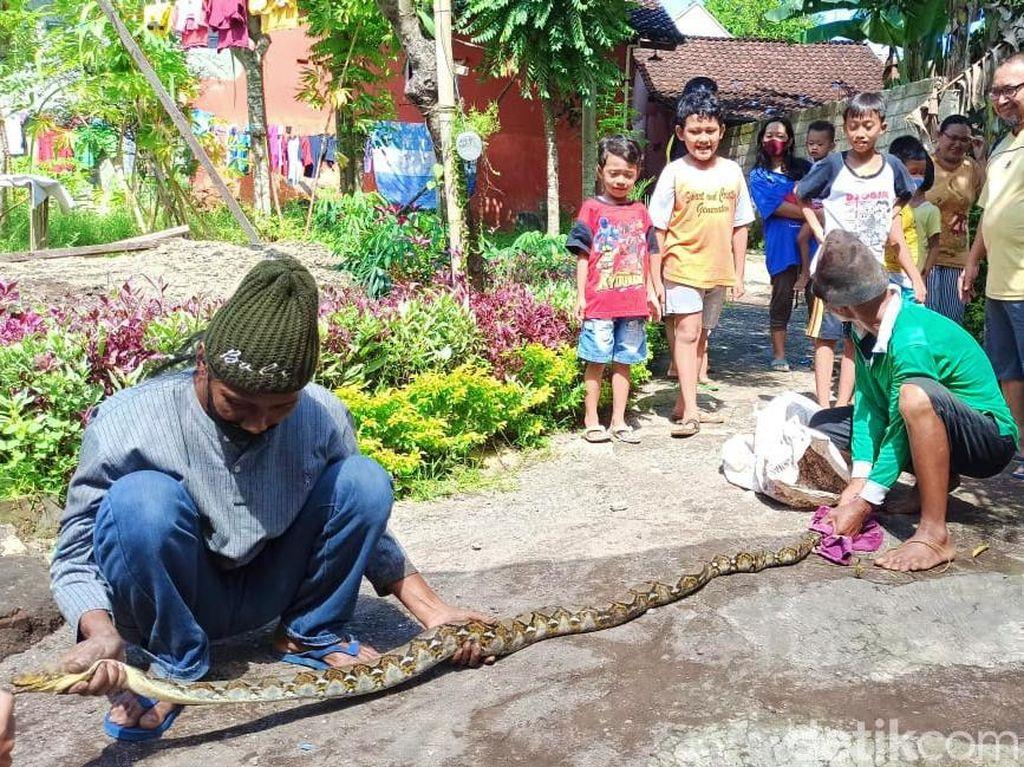 Warga Banyuwangi Tangkap Piton 2,5 Meter, Muntahkan Ayam Saat Dijerat