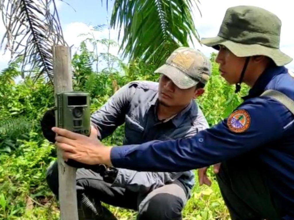 Ada Jejak 2 Harimau di Lokasi Pria Tewas Mengenaskan di Dumai Riau