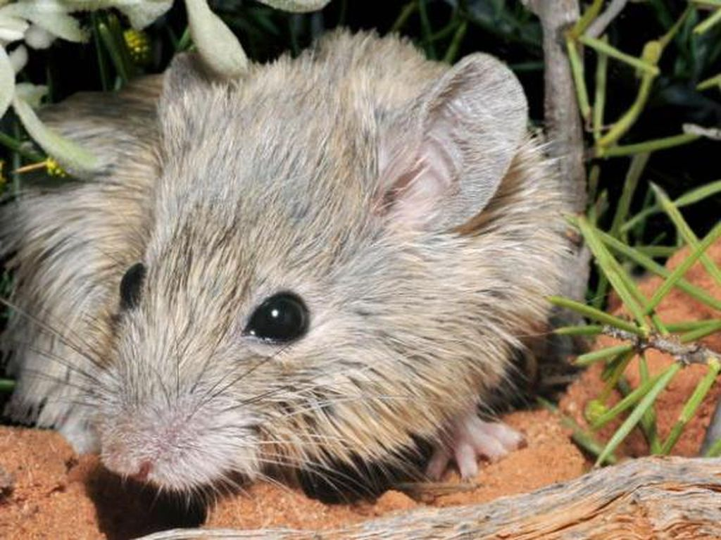 Dikira Punah 150 Tahun Lalu, Tikus Ini Kembali Ditemukan