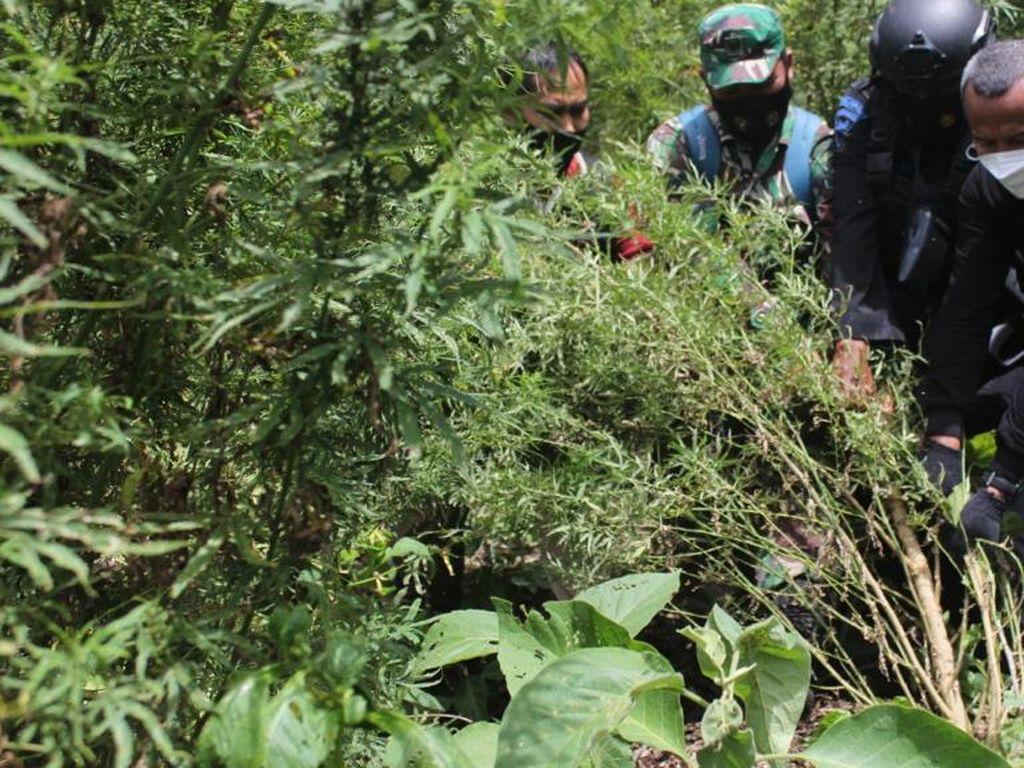 Tangkap 4 Pengedar, Bareskrim Bakar 7 Hektare Ladang Ganja di Aceh