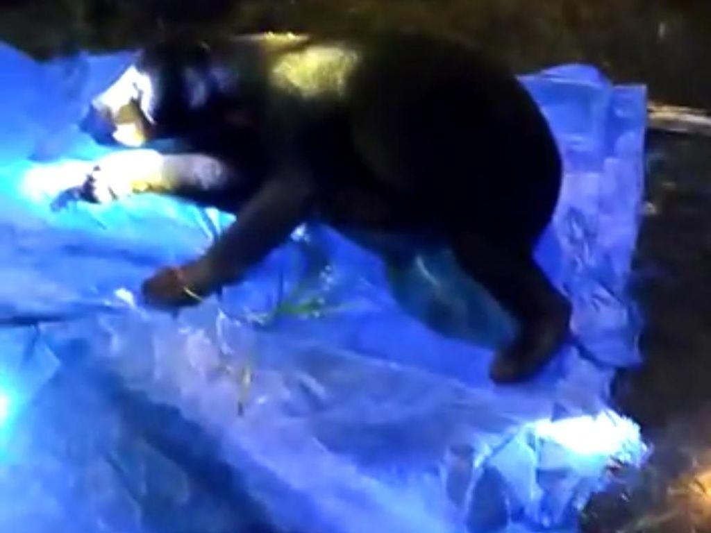 Bikin Resah-Makan Ternak Warga, Beruang Madu Ditangkap BKSDA Jambi