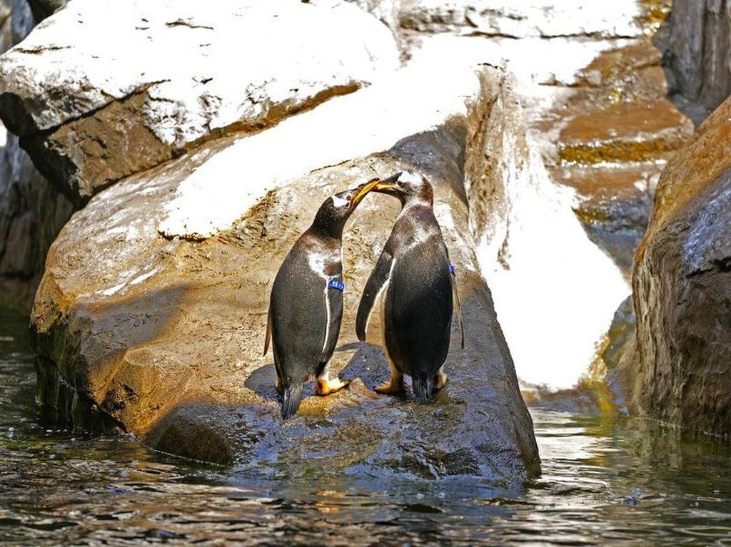Gemasnya Penguin Gentoo, Penghuni Baru Kebun Binatang di Belgia
