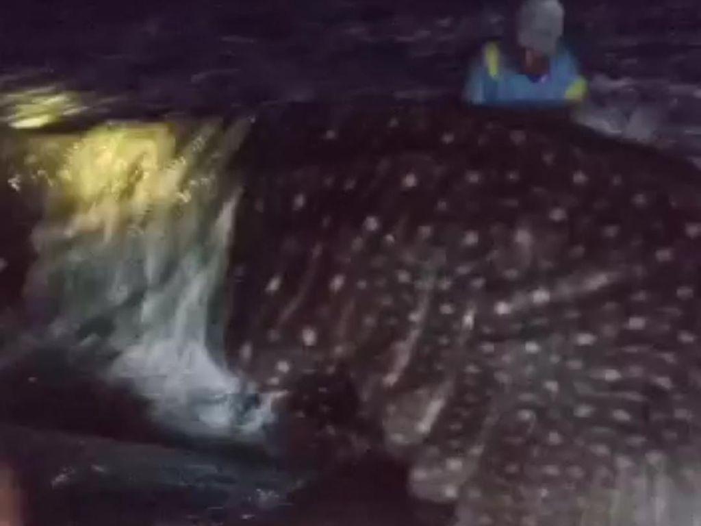 Nelayan Batukaras Berhasil Selamatkan Hiu Tutul yang Terdampar
