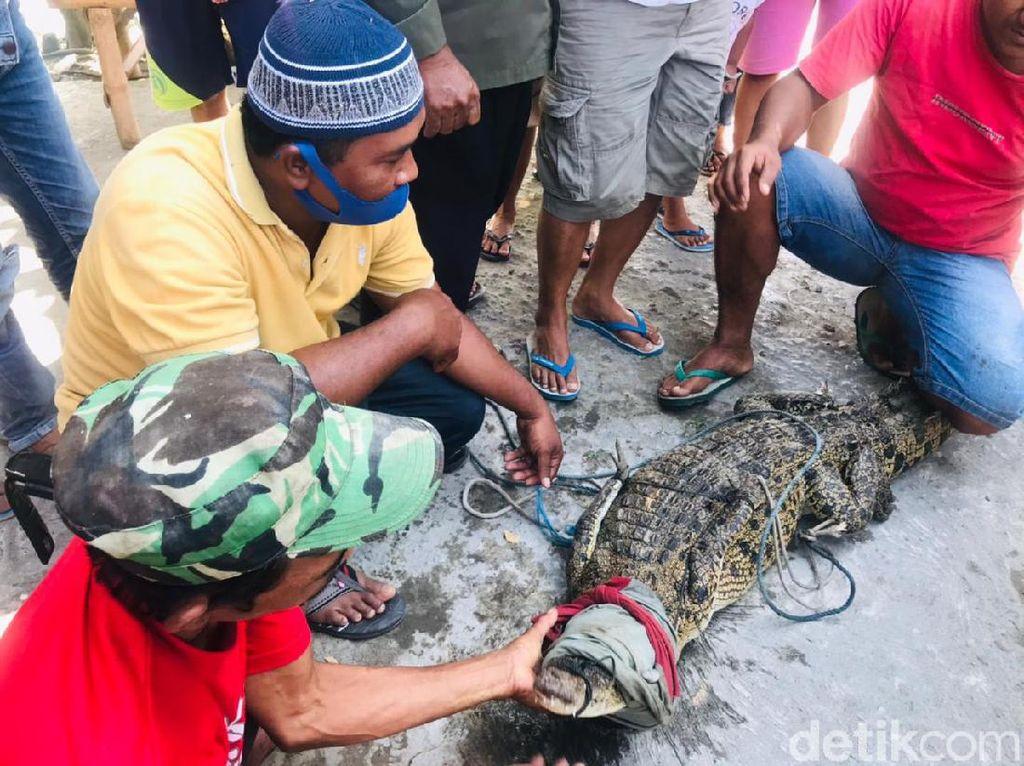 Alasan 3 Pencari Ikan Tangkap Buaya Muara di Sungai Sadar Mojokerto