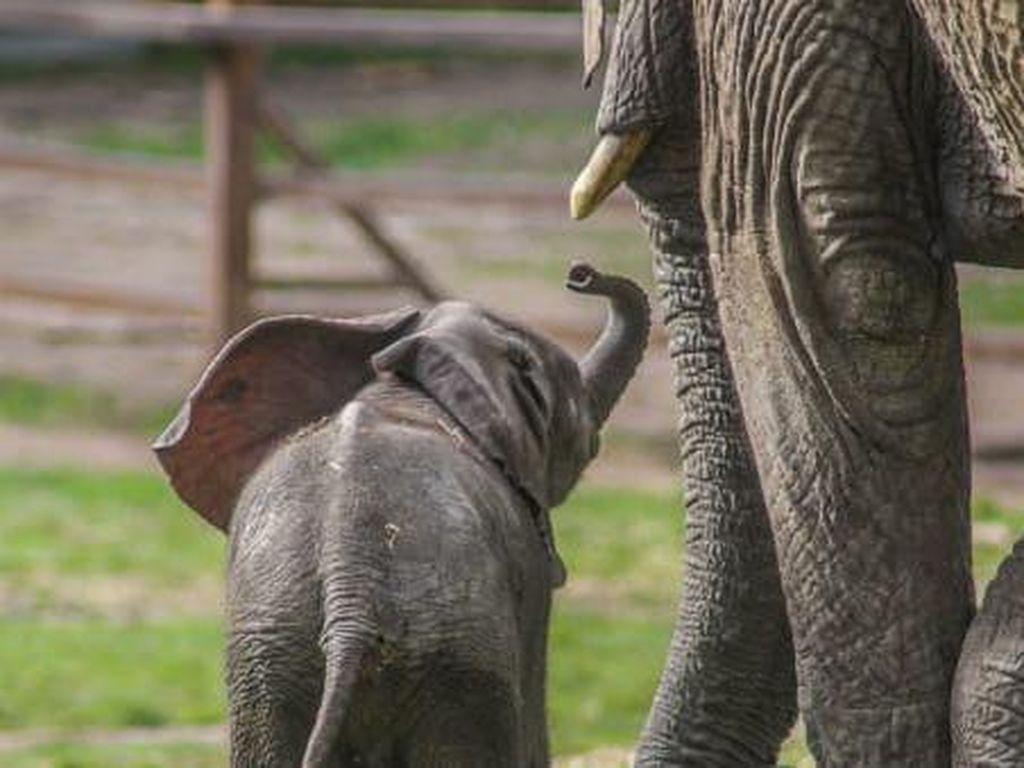 Pertama dalam Sejarah, Gajah Kebun Binatang Dilepasliarkan
