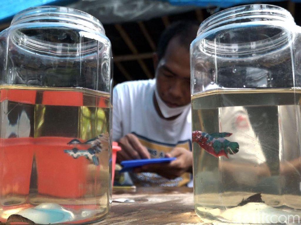 Salon Ikan Cupang, Peluang Cuan di Tengah Pandemi