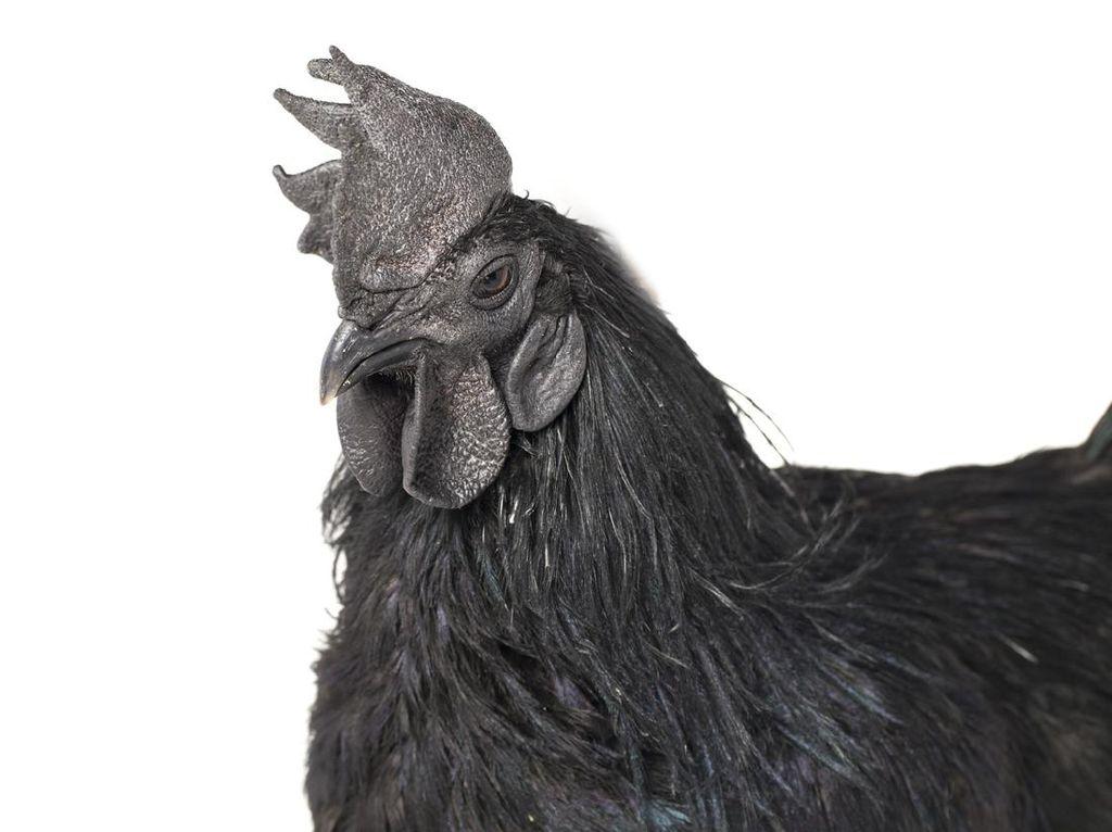Tak Hanya di Indonesia, Ayam Hitam Cemani Juga Populer dan Mahal di India