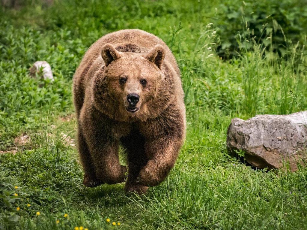 Ups, Seekor Beruang Muncul di Venue Olimpiade Tokyo 2020