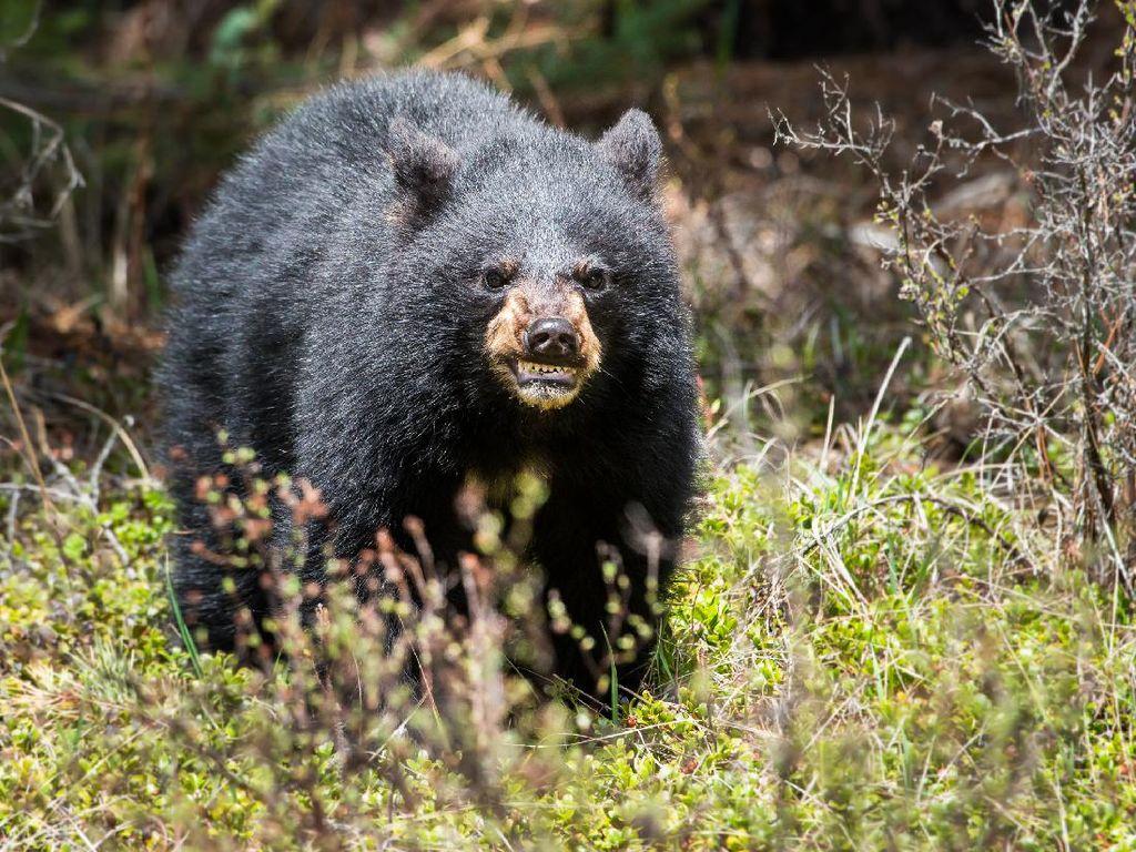 Gemasnya Ibu dan Anak Beruang Ini Bermain Perosotan
