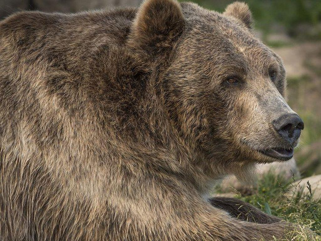 Mengerikan, Perempuan AS Dibunuh Beruang Usai Diseret dari Tenda