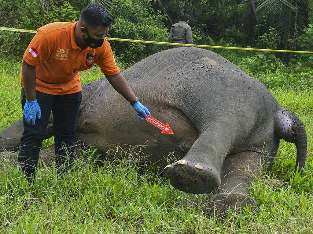 Tragis, Gajah di Aceh Ditemukan Mati Tanpa Kepala
