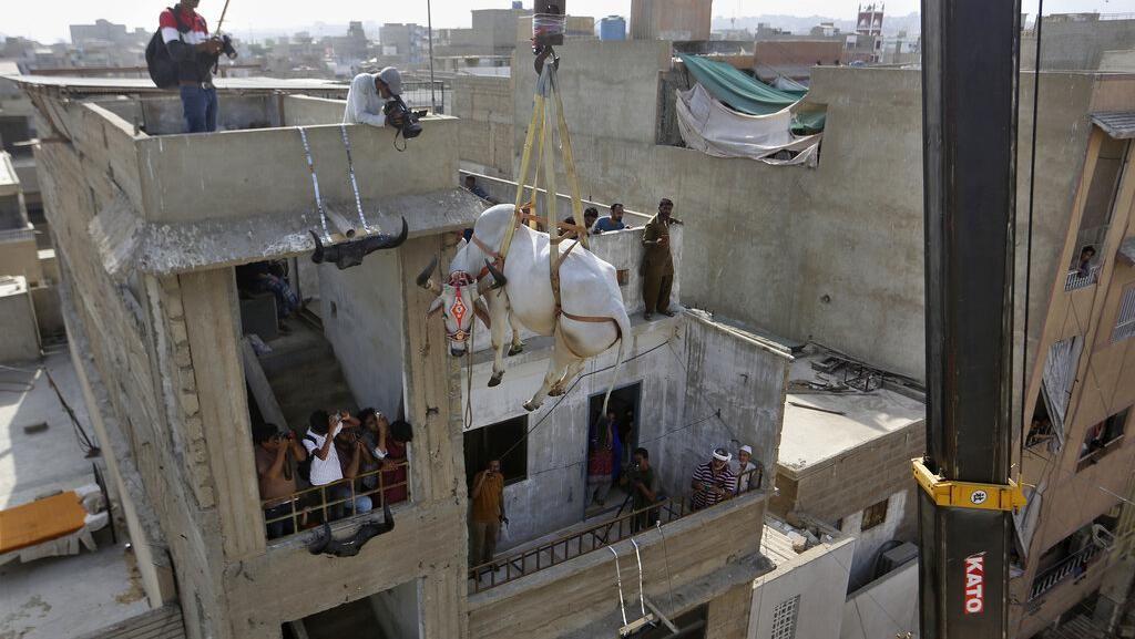 Cara Unik Jual Sapi Kurban di Pakistan