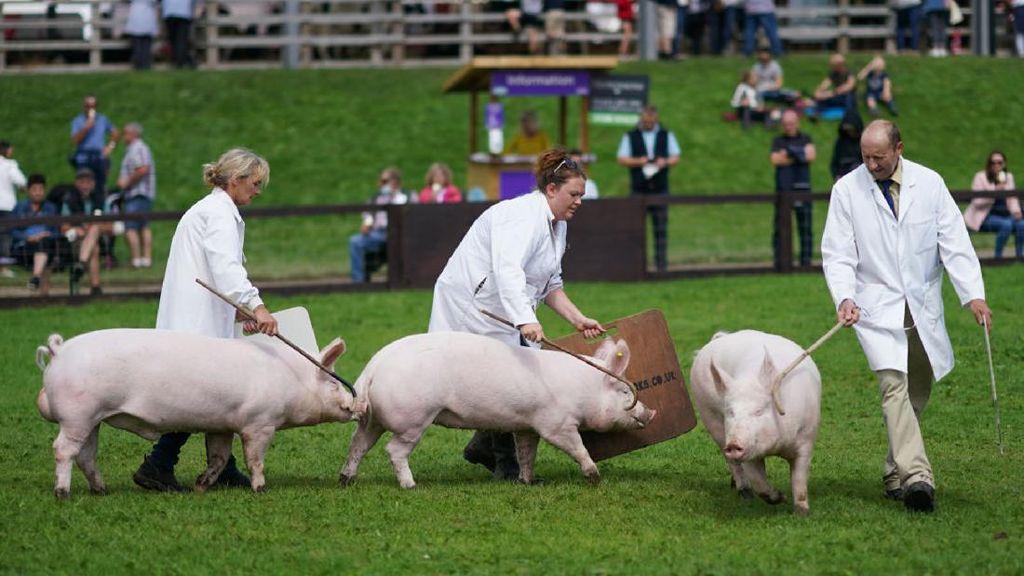 Meriahnya Perlombaan Babi di Inggris Kala Pandemi