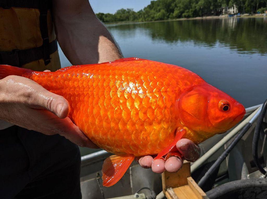 Dibuang ke Danau, Ikan Mas Jadi Raksasa dan Berbahaya